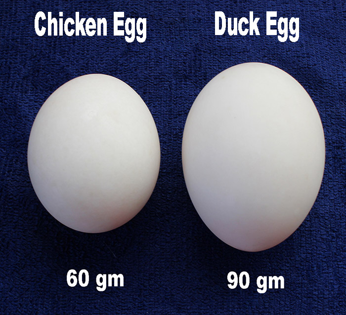 duck eggs size s.jpg