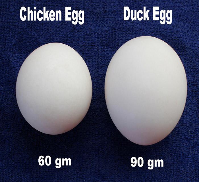 duck eggs size s.jpg