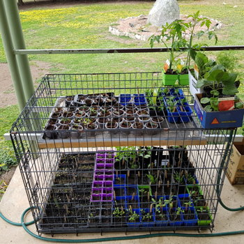 Seedlings in the dog cage