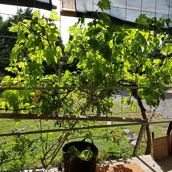 The grape vine acts as a sunshield for the veranda and sitting room