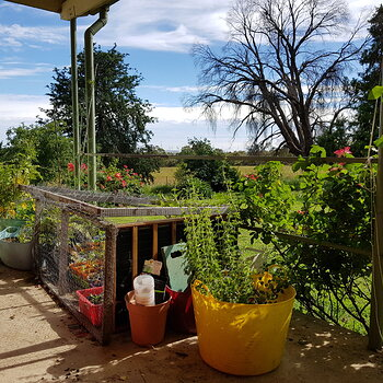 The rest of the veranda is currently a seedling safe area. Chooks rather like newly herniated seeds.